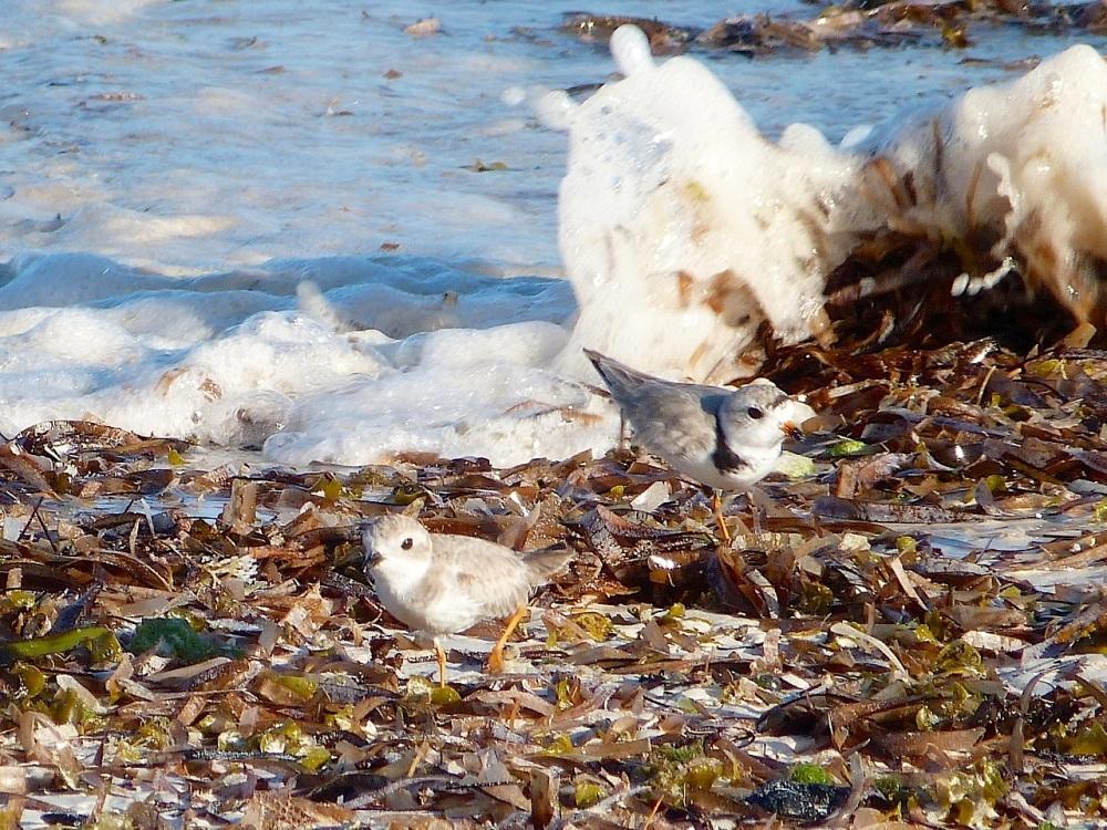 Piping Plover pair, Delphi Beach, Abaco (Keith Salvesen)