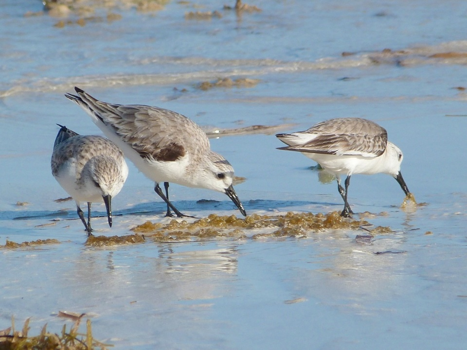 Sanderling Trio, Delphi Beach, Abaco (Keith Salvesen) 2