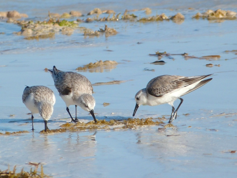 Sanderling Trio, Delphi Beach, Abaco (Keith Salvesen) 3