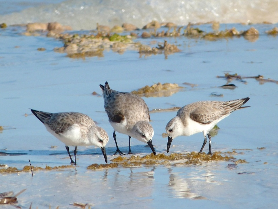 Sanderling Trio, Delphi Beach, Abaco (Keith Salvesen) 4