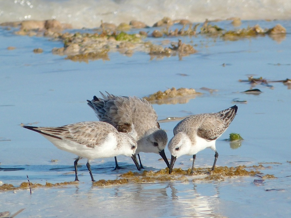 Sanderling Trio, Delphi Beach, Abaco (Keith Salvesen) 5