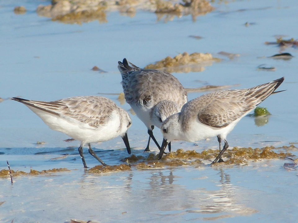 Sanderling Trio, Delphi Beach, Abaco (Keith Salvesen) 6