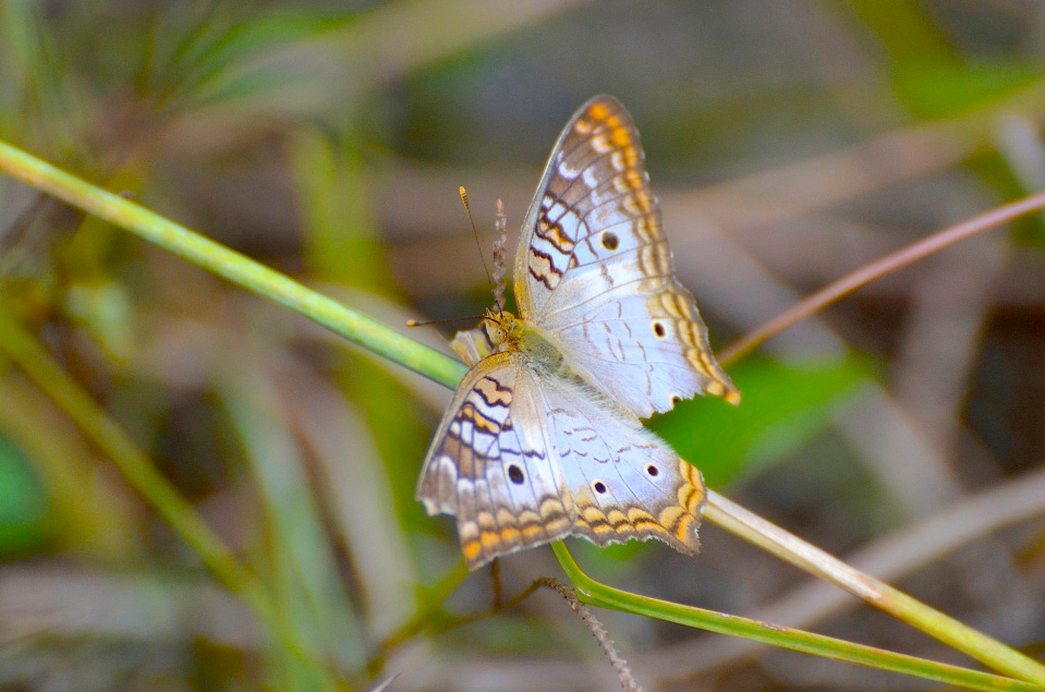 White Peacock, Abaco DSC_4786 (Charlie Skinner)