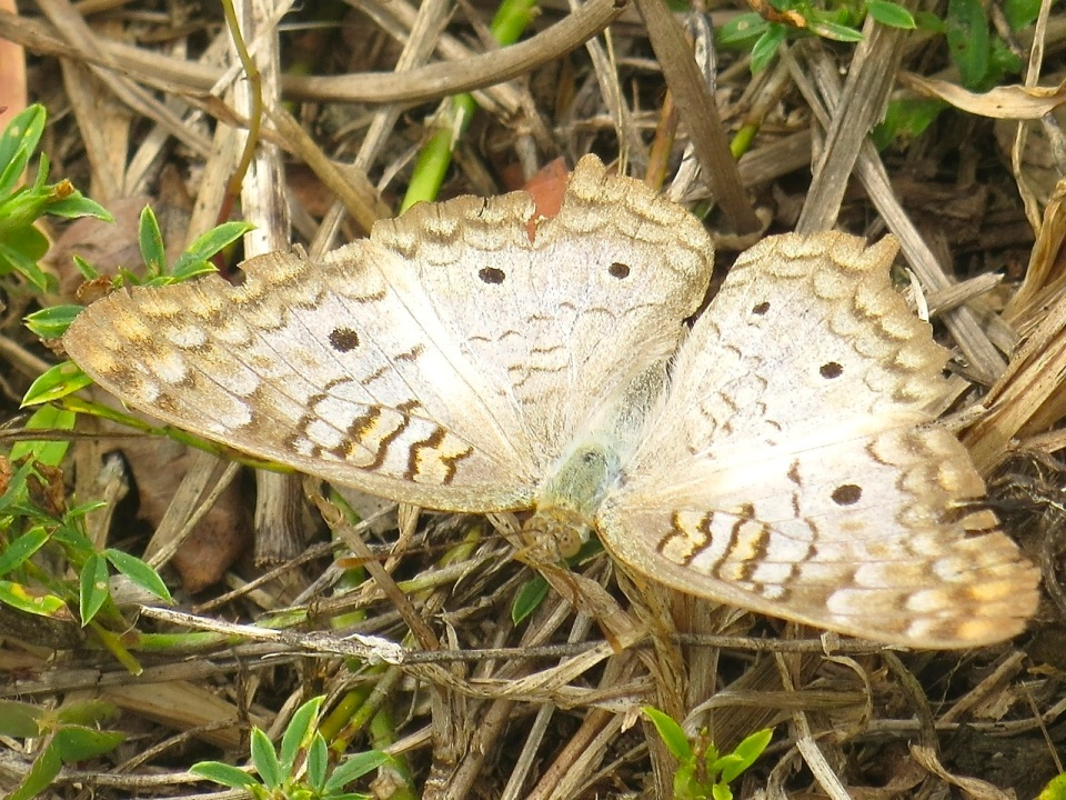 White Peacock Butterfly, Abaco (Keith Salvesen) 1