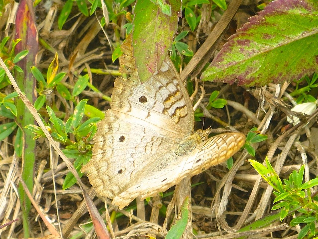 White Peacock Butterfly, Abaco (Keith Salvesen) 2