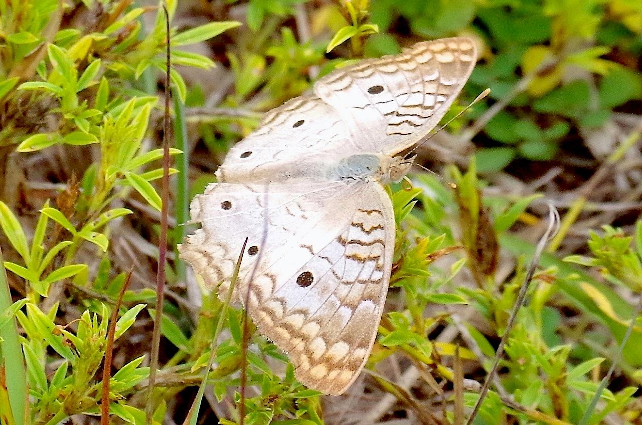 White Peacock Butterfly, Abaco (Keith Salvesen) 3