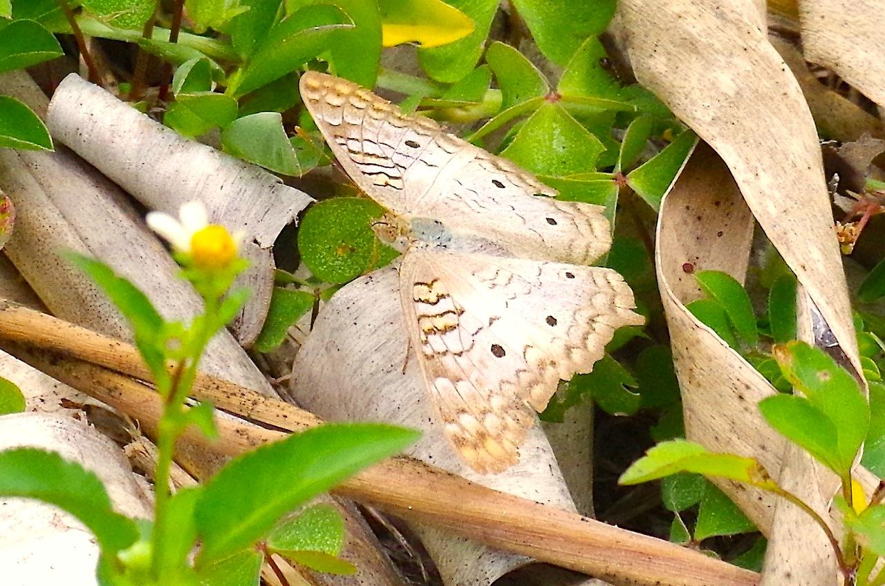 White Peacock Butterfly, Abaco (Keith Salvesen) 4