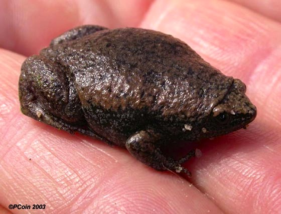 Eastern narrow-mouthed toad (P. Coin / ABSCI)