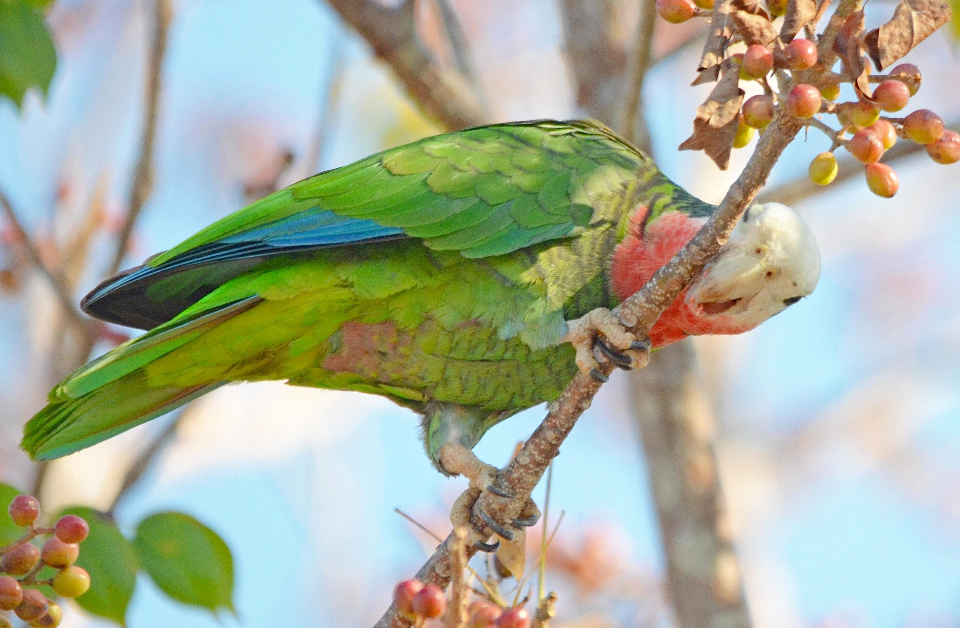 Abaco Parrot (Duncan Mullis)