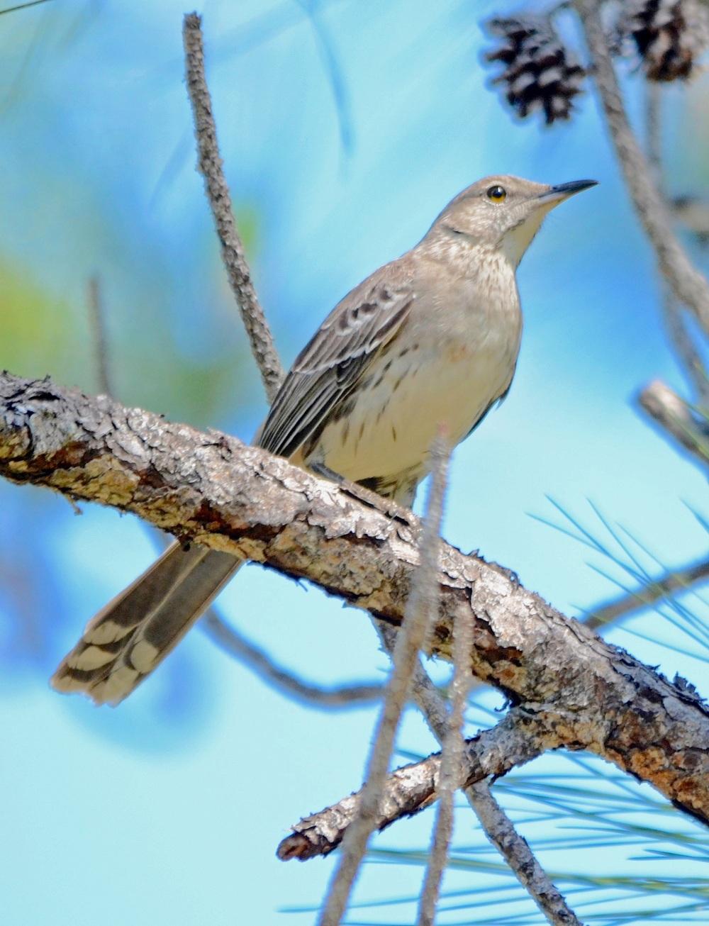 Bahama Mockingbird, Abaco (Duncan Mullis)