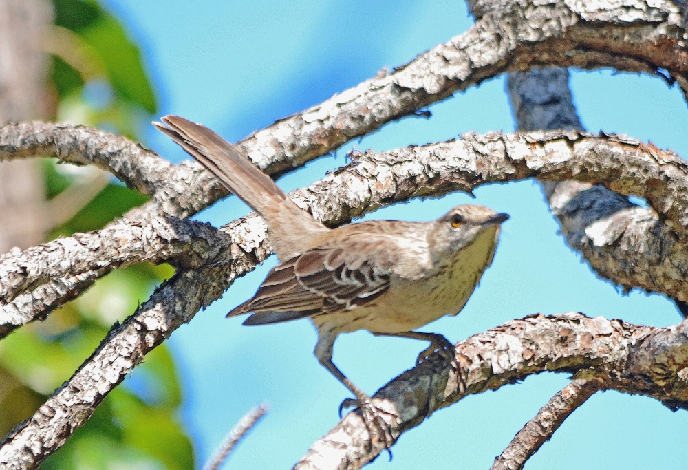 Bahama Mockingbird, Abaco - Susan Daughtry