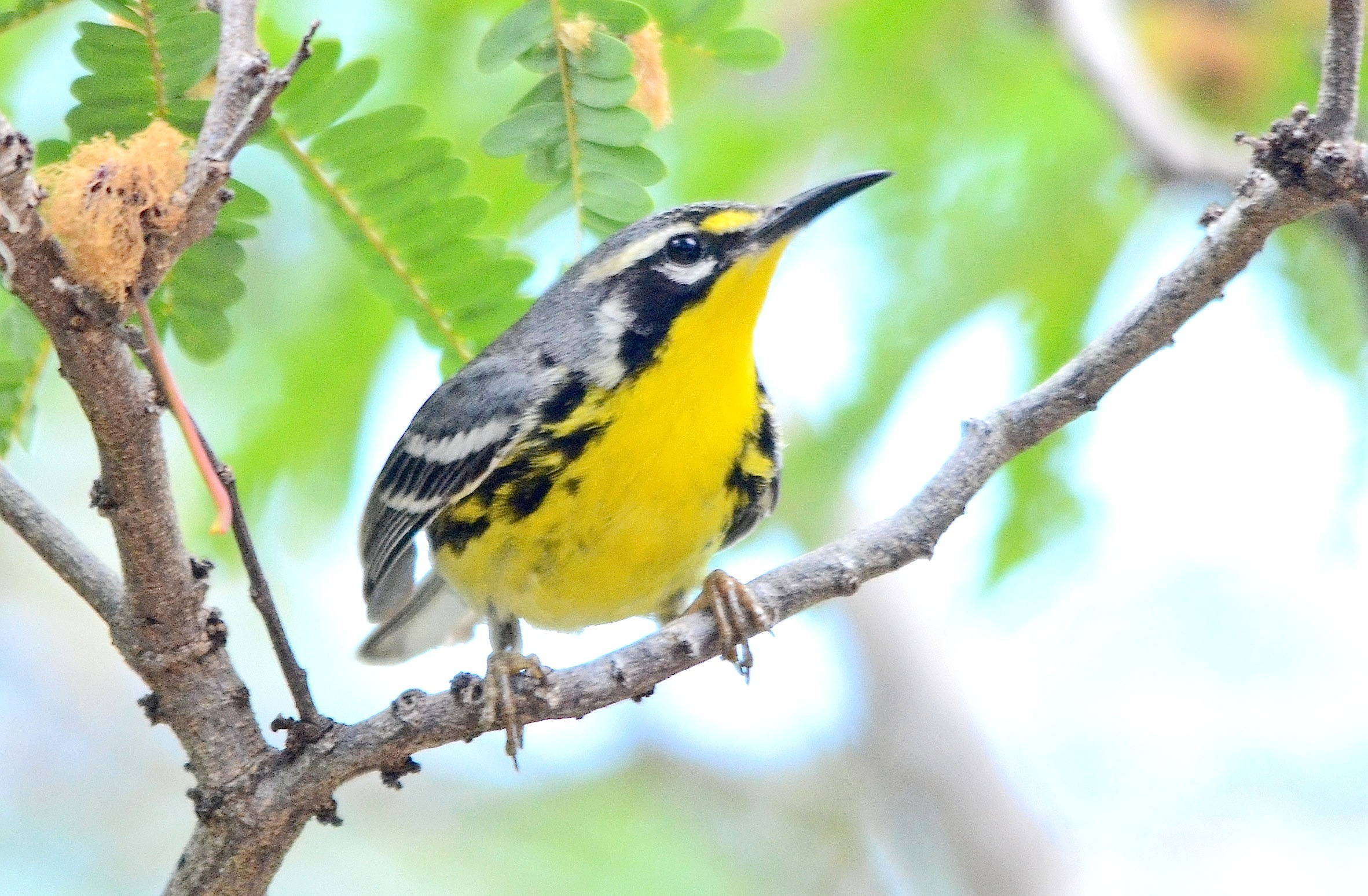Yellow-throated Warbler, Abaco (Duncan Mullis)