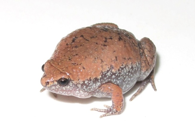 Eastern narrow-mouthed toad (Sean Giery ABSCI)
