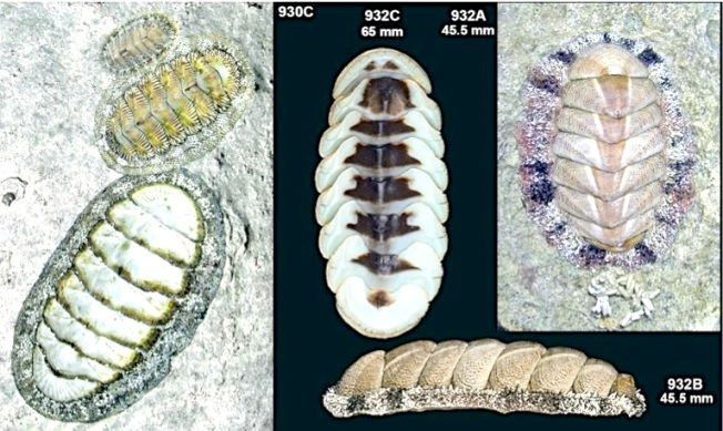 FUZZY CHITON scientific doc (Colin Redfern)