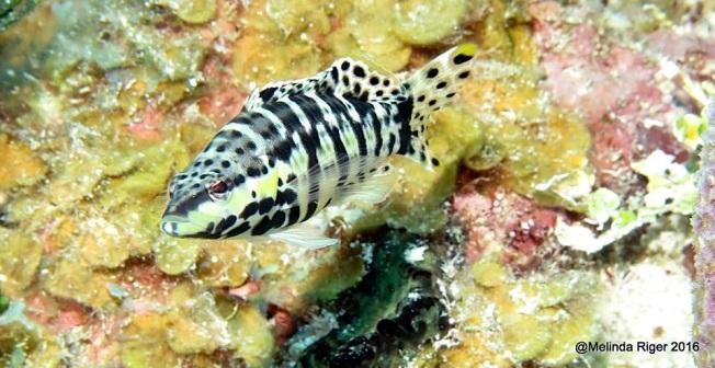 Harlequin Bass Fish ©Melinda Riger @ G B Scuba copy