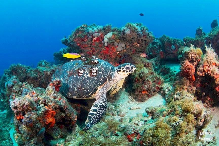 Hawksbill Turtle Bahamas (Adam Rees / Scuba Works)