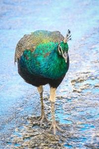Peacock, Bahama Palm Shores Abaco 2 (Rhonda Pearce)