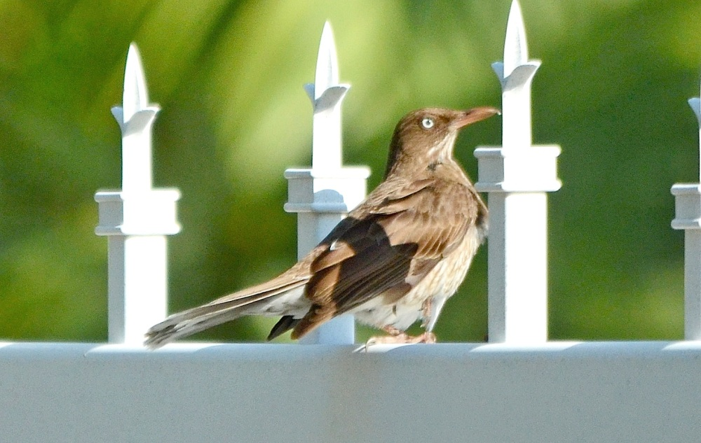 Pearly-Eyed Thrasher, Treasure Cay, Abaco (Woody Bracey)