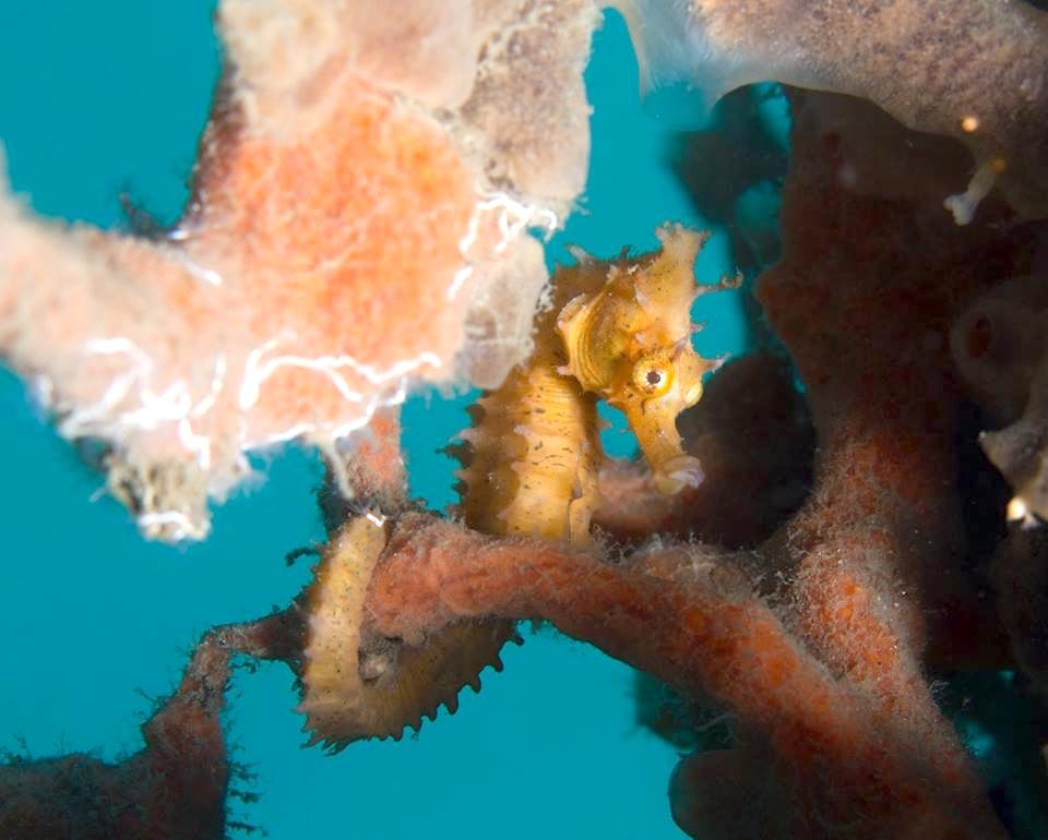 Seahorse (Adam Rees : Scuba Works)