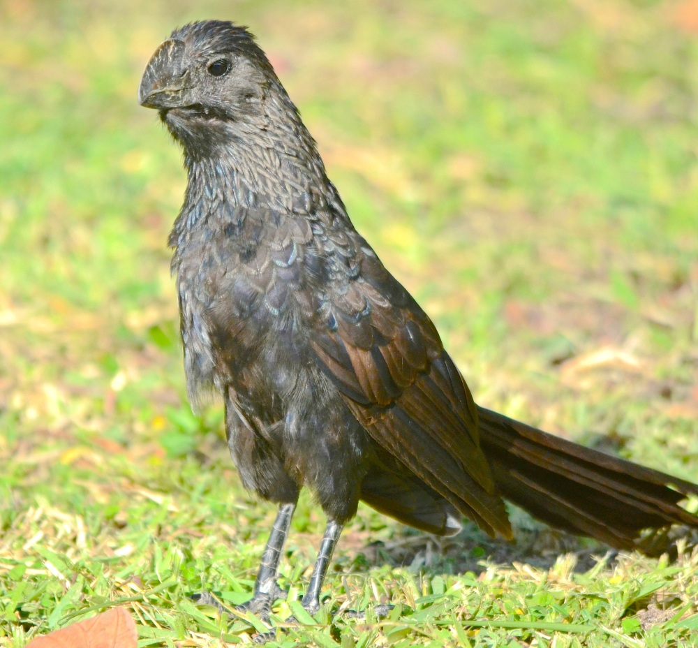 Smooth-billed Ani, Treasure Cay, Abaco (Duncan Mullis)