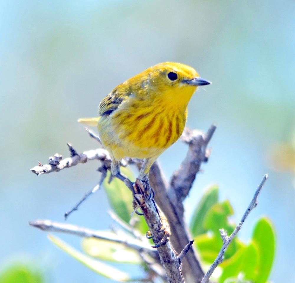 Yellow Warbler, Abaco (Duncan Mullis)