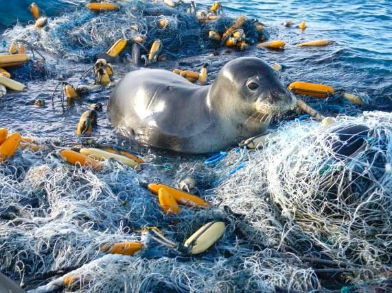 Monk Seal in discarded fishing nets (NOAA)