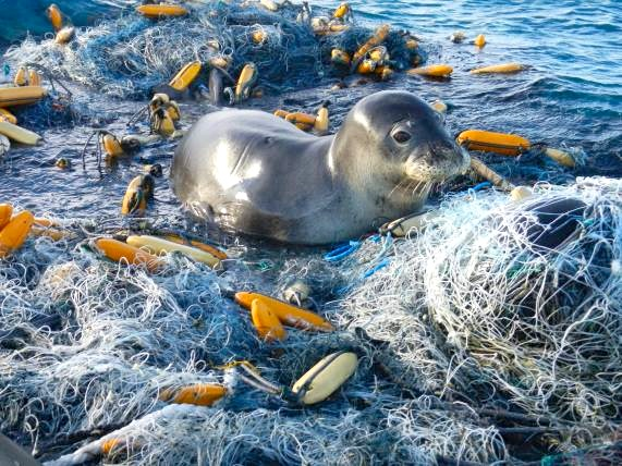 Monk Seal in discarded fishing nets (NOAA)