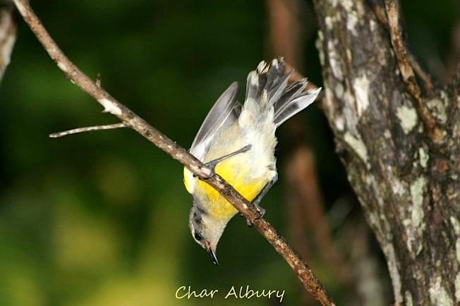 Bananaquit juvenile, Abaco (Char Albury)