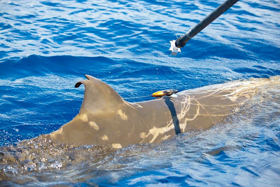 Tagging a Blainville's beaked whale with a suction cup 3