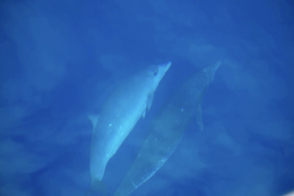Blainville's beaked whale female and calf