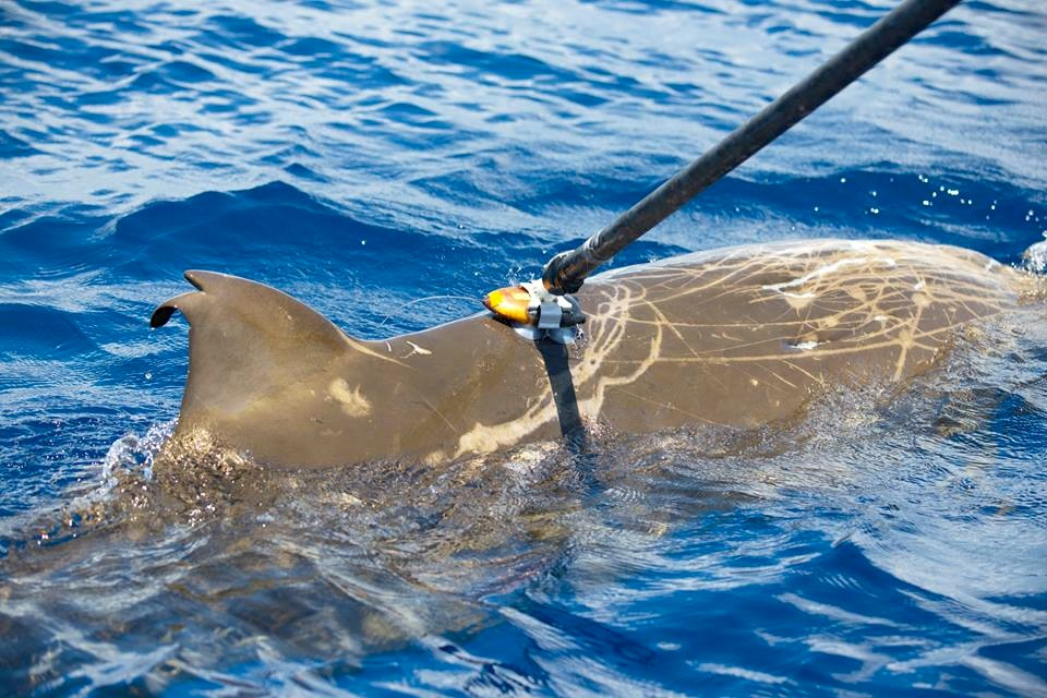 Tagging a Blainville's beaked whale with a suction cup 2