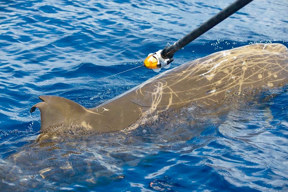 Tagging a Blainville's beaked whale with a suction cup 1