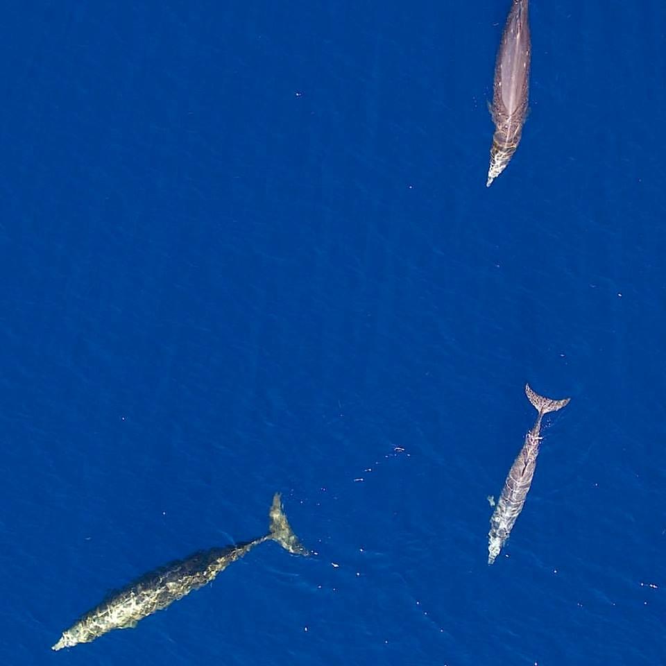 Blainville's beaked whales photogrammetry image - BMMRO
