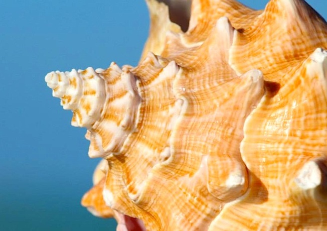 Conch close-up, Abaco (Rhonda Pearce)