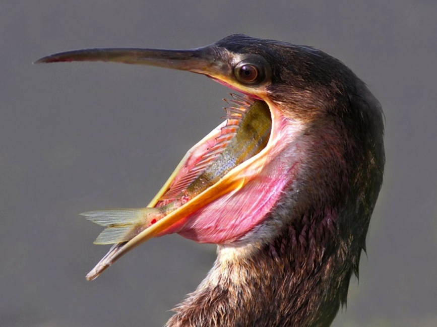 Anhinga eating fish (Phil Lanoue)