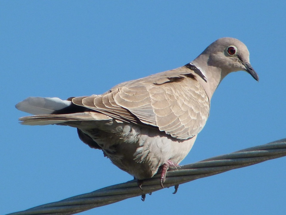 Collared Dove, Abaco - Keith Salvesen / Rolling Harbour