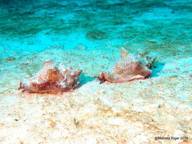 Conch race ©Melinda Riger @ G B Scuba copy