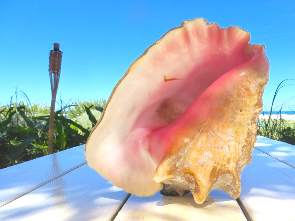 Conch Shells, Sandy Point, Abaco