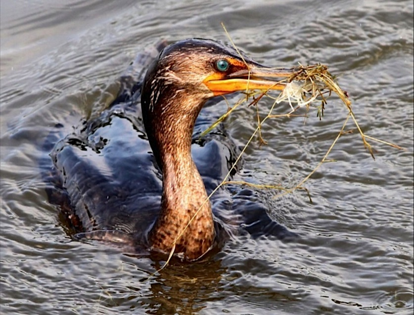 Cormorant feeding (Phil Lanoue)