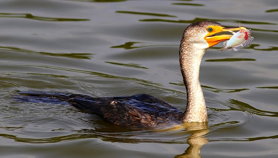 Cormorant - varied diet 1 (Phil Lanoue)