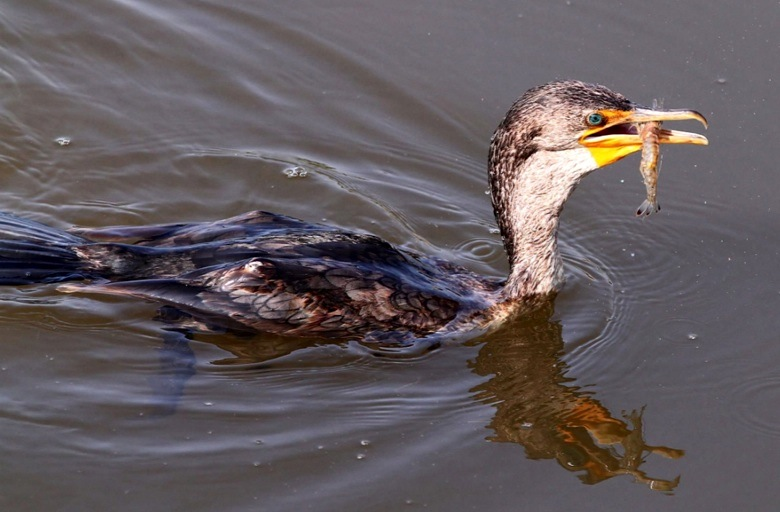 Cormorant - varied diet 3 (Phil Lanoue)