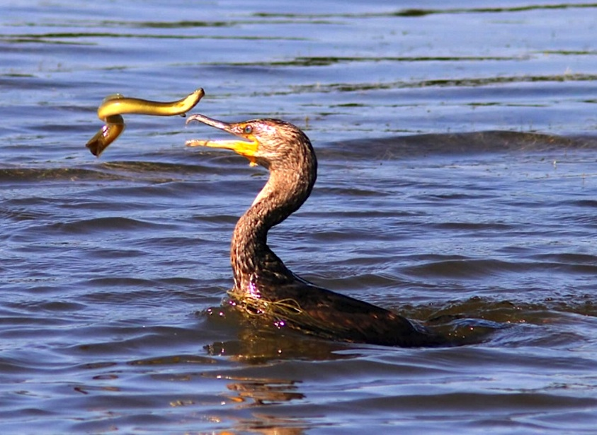 Cormorant - varied diet 4 (Phil Lanoue)