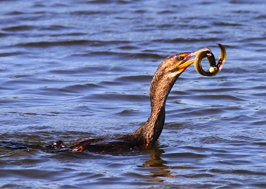 Cormorant - varied diet 5 (Phil Lanoue)