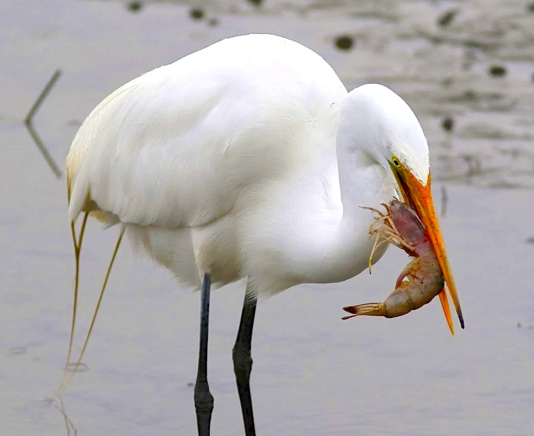 Great Egret eating fish (Phil Lanoue)