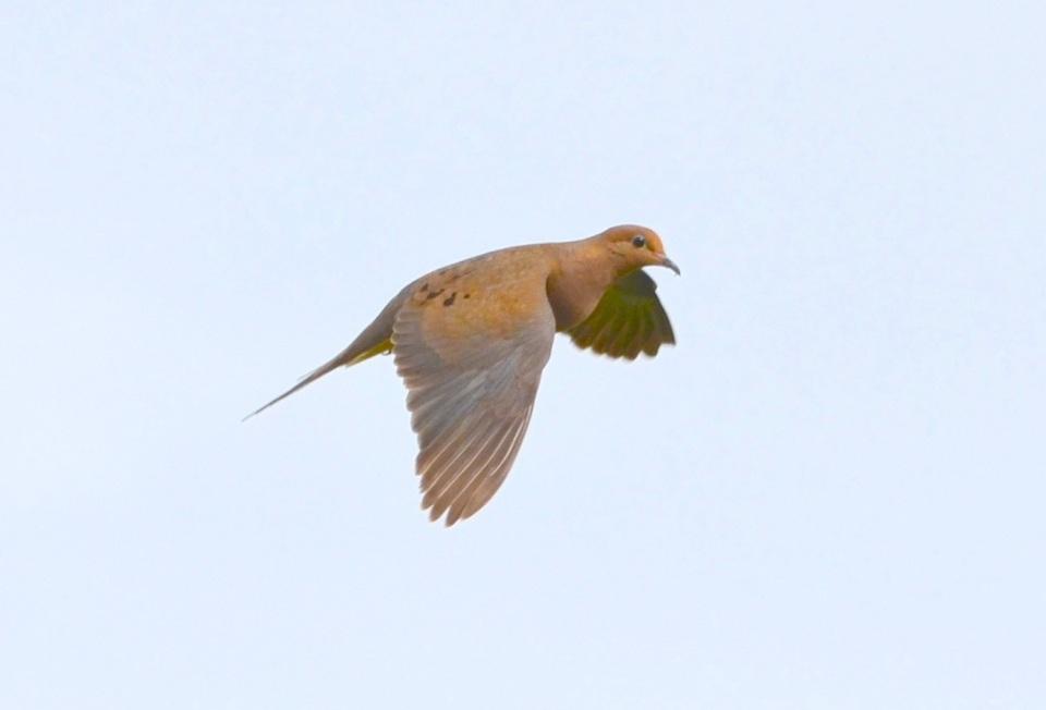 Mourning Dove, Abaco (Charles Skinner)