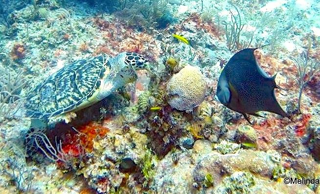 10245Green Turtle, Gray Angelfish ©Melinda Riger @GB Scuba copy