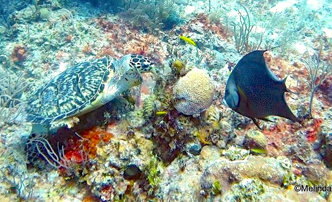 10245Green Turtle, Gray Angelfish ©Melinda Riger @GB Scuba copy
