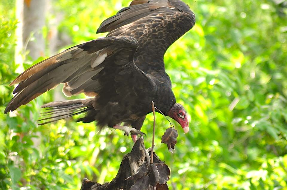 Turkey Vulture, Lubbers Quarter, Abaco (Larry Towning)