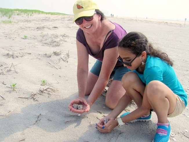 Piping Plover chick in the hand for banding (CWFNJ)