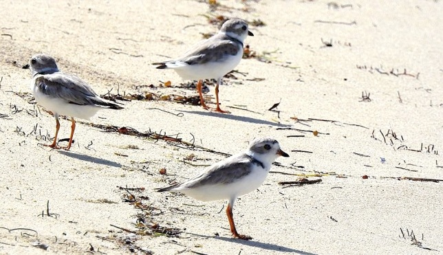 Piping plovers, West End, Grand Bahama (Linda Barry-Cooper)